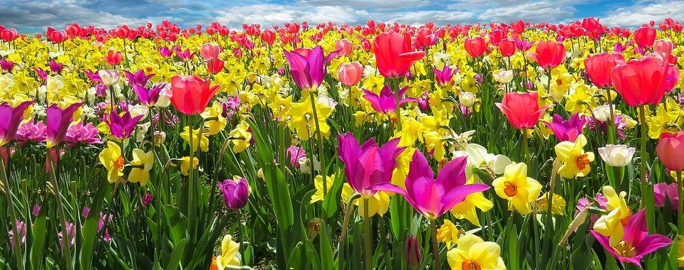 Image tulips